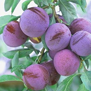 スモモの苗木 品種:メスレー【品種で選べる果樹苗木 2年生 接木苗 15cmポット 平均樹高:60cm/1個】(ポット植えなのでほぼ年中植付け可能)果重が30~60gと小ぶりですが、酸味がほとんどなく、とっても甘い品種! 果皮は黒紅色で、果肉は...
