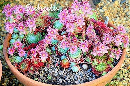 Pas cher 150 Pcs Mini Garden Succulentes Cactus Graines Variées Plantes vivaces Sempervivum Incroyable Maison Poireaux facile Live Forever 15 Cultivez