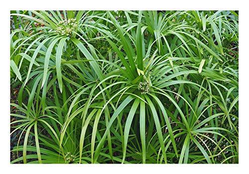 """Wunderschönes Freiland-Zyperngras\""""Cyperus glaber\"""""""