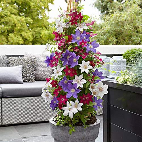 Keland Garten - 50pcs Rarität Clematis 'Olympia' - Kletterpflanze Bonsai, kompakt wachsend, Blumensamen winterhart mehrjährig für Innenräume/Hanging Baskets