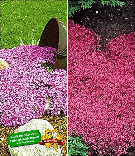 BALDUR Garten Winterharte Bodendecker-Kollektion rosa und rot 6 Pflanzen Phlox und Thymian, Polsterphlox und Polsterthymian winterhart