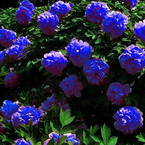 Mymotto - Semi di peonia profumato, fiori profumati