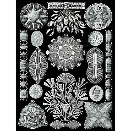 Wee Blue Coo 84Th Plate Ernst Haeckel Kunstformen Der Natur Diatoms Unframed Wall Art Print Poster Home Decor Premium