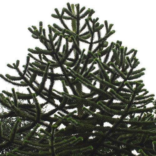 Plant World Seeds - Araucaria Araucana Seeds