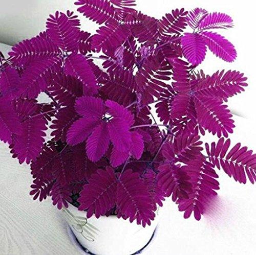 SummerRio 10/20/50 Stück Mimosen Samen Bunte Echte Mimose Pudica für Garten Balkon Bonsai Pflanze