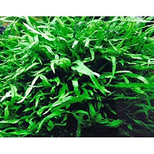 大量ミクロソリウム・ナロー 20葉 ◆細い葉のミクロソリウム◆ イイ水草市場
