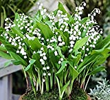 5 Plump Lily of the Valley Pips - Plant Now for May Bloom