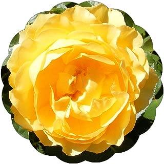 Best julia child yellow rose Reviews