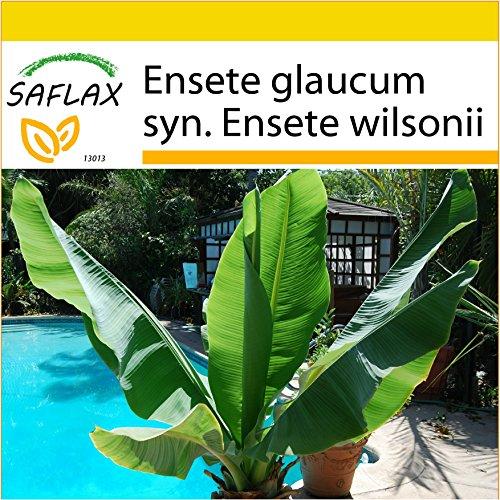 SAFLAX - Anzucht Set - Große Schneebanane - 10 Samen - Mit Mini-Gewächshaus, Anzuchtsubstrat und 2 Töpfen - Ensete glaucum