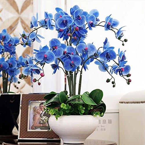 300/Sac à chaud Vente rares Fleurs vivaces plantes à fleurs en pot Charme Orchid Garden Seeds Bricolage Family Livraison gratuite