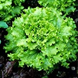 Grand Rapids TBR Lettuce Seeds, 1000+ Premium Heirloom Seeds, Top Selling Lettuce & ON Sale, (Isla's Garden Seeds), Non GMO, 90% Germination Rates, Highest Quality, 100% Pure