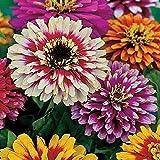 Seekay Zinnia Elegans - Whirlygig - Environ 360 Graines - 3 Grammes - Fleur Annuelle