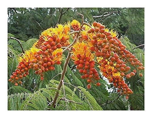 Colvillea racemosa - Flamboyant à grappes - 5 graines