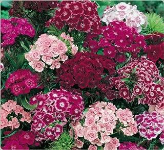 Best sweet williams flowers perennial Reviews