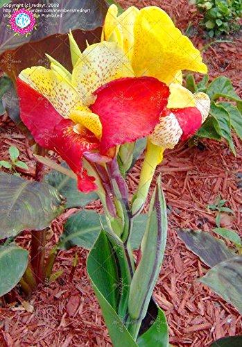 10 pcs couleurs mélangées Canna Lily Graines Belle Bonsai Graines de fleurs Magnifique feuillage vivace Plante en pot pour jardin 5
