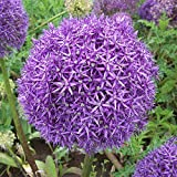 3 x Allium Globemaster - Ail d'Ornement - Bulbe à Fleurs Vivace