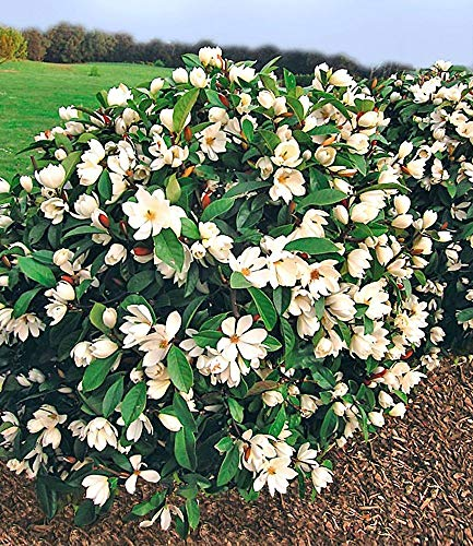 BALDUR Garten Duft-Magnolien-Hecke Fairy,1 Pflanze Michelia Fairy Magnolia® Heckenpflanze