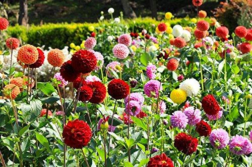 Dalia de flores de pompones - mezcla de variedades - 120 semillas