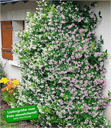 BALDUR-Garten Duft-Jasmin