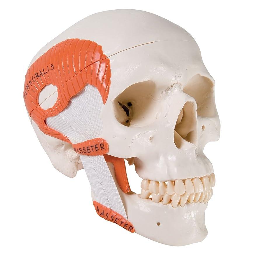 積分元気良性頭蓋,咀嚼筋付,2分解モデル