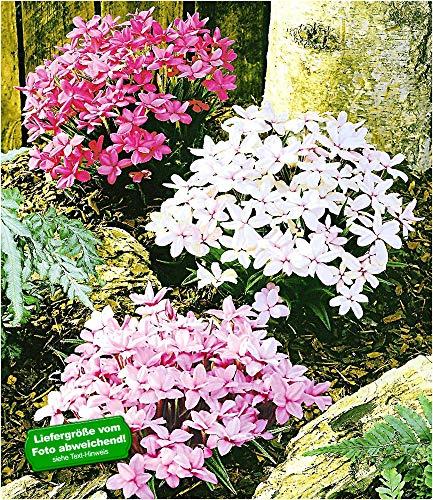 BALDUR-Garten Winterharter Bodendecker Grasstern Twinkle Star®, 3 Pflanzen im Mix