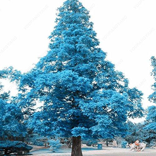 50pcs / bag japonesa raras semillas amarillas del árbol de pino de Bonsai Pinus Thunbergii Semillas Jardín de Invierno de Navidad de Kawaii Plantas envío libre blanco