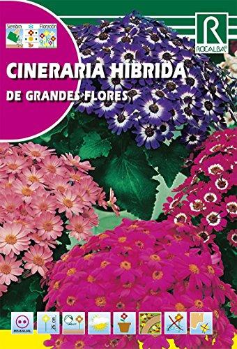 Rocalba s-620138Semilla Cineraria Hibrida-10Pezzi