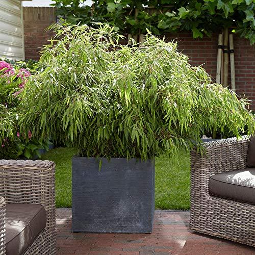 Fargesia Rufa | Bambus | Immgergrün | Höhe 30-60cm | Topf-Ø14cm