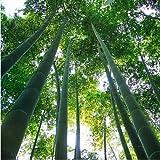 Un paquete de 60 unidades crecen fácil semillas frescas gigante Moso bambú por un jardín de DIY Planta * bonsai Orgánica