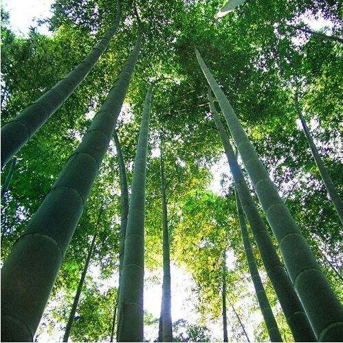 Un paquet de 60 pièces poussent facile frais géant Moso bambou Graines pour le bricolage jardin des plantes * bonsaï organique