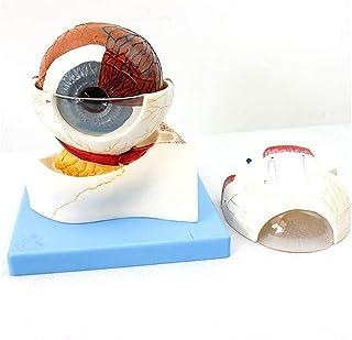 Afneembare menselijke orgaan oogstructuur anatomisch model met digitaal teken 5x vergroot oog model Orgelmodel