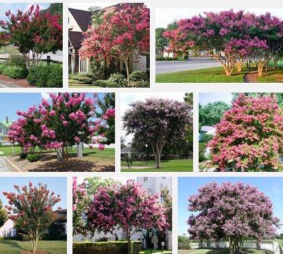 jardín de plantas perennes 100pcs semillas de flores de rápido crecimiento, semillas de flores bonsái de mirto crespón / semillas del árbol Bonsai Semilla