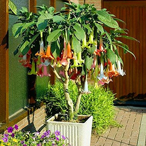 Qulista Samenhaus - 100pcs Selten exotisch Engelstrompete 'Summer Magic'' Blumensamen winterhart mehrjährig, geeignet für Balkon/Beet/Terrasse/Balkon