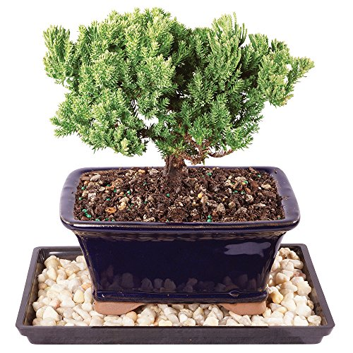 Brussel's Live Green Mound Juniper Outdoor Bonsai Tree - 4 Years Old; 6' to 8' Tall with Decorative Container, Humidity Tray & Deco Rock