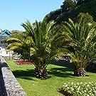 Hardy Phoenix Palm Trees (Pair)