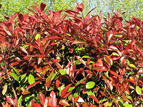 RWS Photinia Red Robin 10 semillas Photinia fraseri Red Robin