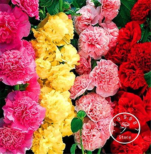 100 Pieces / Lot Nouvelle arrivée! Double trémière Flower Seeds Mix / Graines Vivaces Jardin Décoration Bonsai Fleur