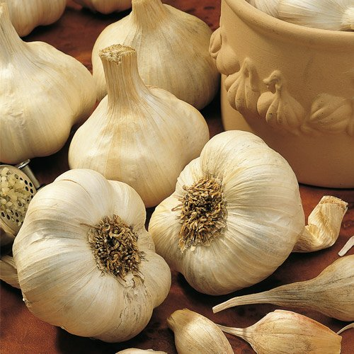 Elephant Garlic OFFicial by Christopher Popular Ranch
