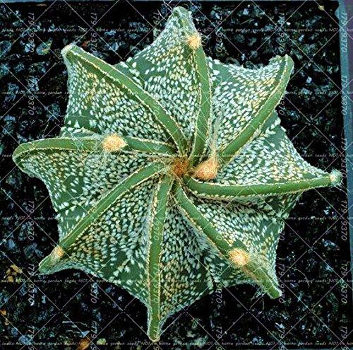100pcs vrai Succulent Cactus graines de figue de Barbarie Bonsai Graines de fleurs Plante en pot pour jardin purifient l'air empêchent le rayonnement 15