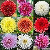 Dalia Surprise Mix 5 PCS (Mezclar) [Bulbos de flores de verano] - Amsterdam Flower Bulbs Online ®