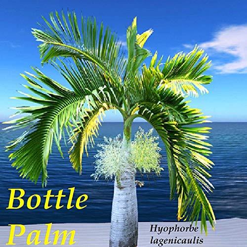 VISA STORE Flasche Pm Hyophorbe lagenicaulis 30 Samen u wird erhalten Beste Samen von Hawaii