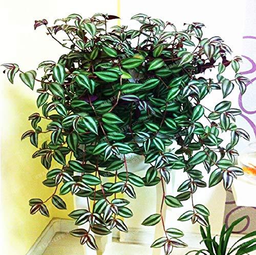 100pcs Zebrina Pendula Schnizl Bonsai Für Hausgarten Pflanze Staude Hoch Budding Gartenpflanzen Bonsai