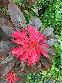 Joseph s Coat Amaranthus Molten Fire  Amaranth Summer Poinsettia Premium Seed Packet