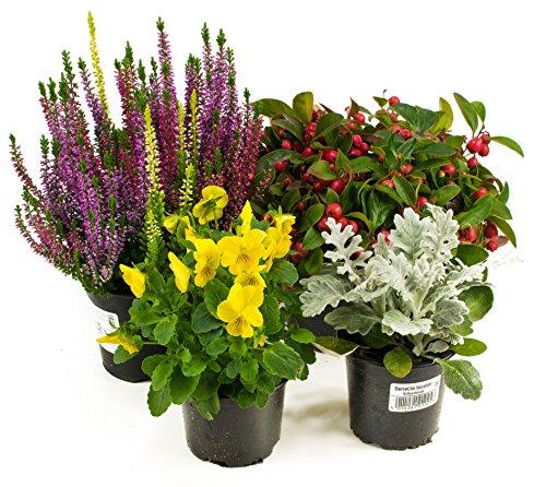 Herbst Blumen Set Nr.5 Calluna vulgaris Trios Milka, Scheinbeere, Viola Stiefmütterchen & Silberblatt