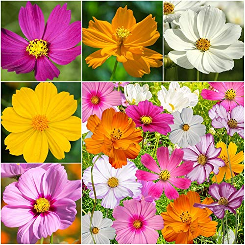 5000 UNIDS Semillas de Flores Mezclas Semillas de Crisantemo Cosmos Semillas Plantas Semillas Decoración de Jardín