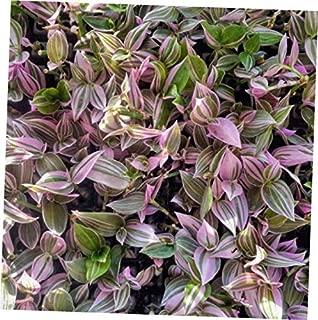 KAG 2.5x3.5 Inch Pot Wandering Jew Lilac Tradescantia Fluminensis House Plant - RK1810
