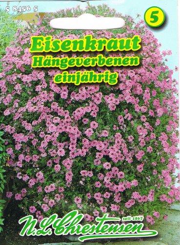 Eisenkraut, Hängeverbene 'Verbena pendula' Blütenmeer hängend für Balkonkästen und Ampeln