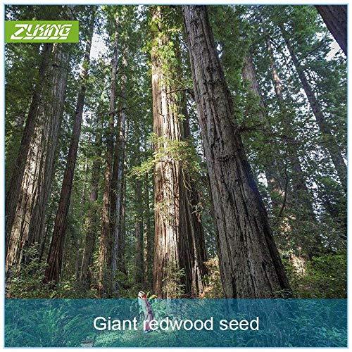 Ferry 100pcs / Bag Redwood Bonsai Gaint Redwood-Baum Urweltmammutbaum Urweltmammutbaum glyptostroboides Seltene Perennial Duftpflanzen Bio
