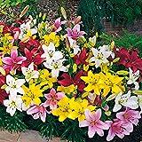 5x Lilium'Lambada' | 5er Mix Lilien Zwiebeln Winterhart | Gemischte Farben | Blumenzwiebeln mehrjährig | Ø 12-14 cm