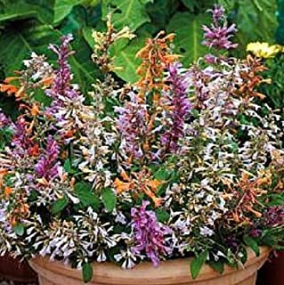 Cheap Fresh Beautifull Agastache Fragrant Delight Flower Seed Mix Perennial Get 30 Seeds Easy Grow #SOW01YN